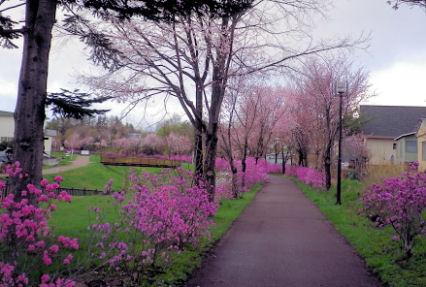 0505_躑躅&桜.jpg
