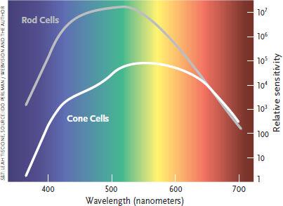 錐体細胞と杆体細胞の感度