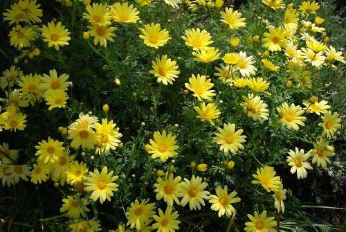 黄色い花の群生