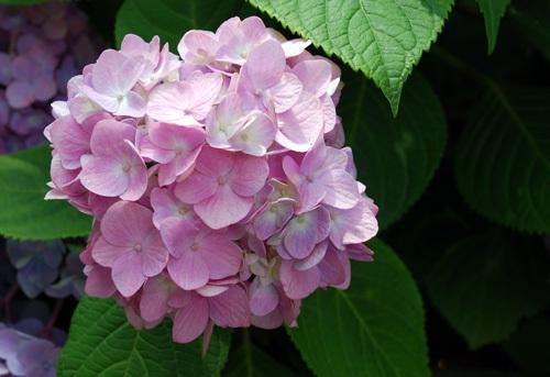 藤森神社の紫陽花4