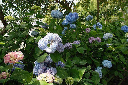 藤森神社の紫陽花5