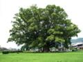 加茂の大楠  徳島県三好郡東みよし町加茂 樹齢1000年 枝幅50m