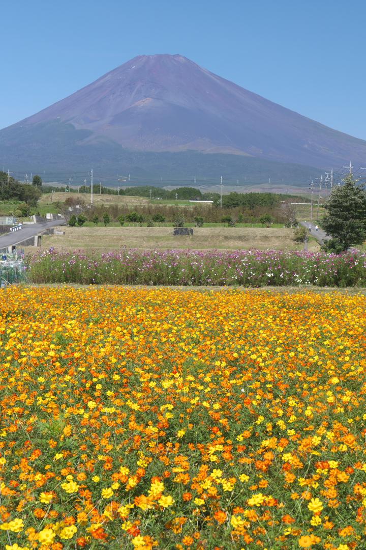 裾野からの富士山とコスモス畑