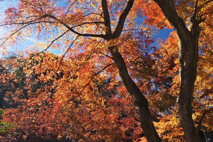 江川邸の庭の紅葉