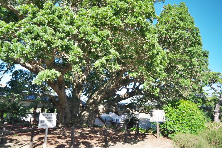 国の天然記念物 蓮着寺のヤマモモ