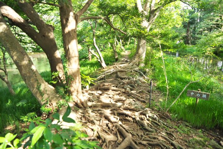 自然林の木の根