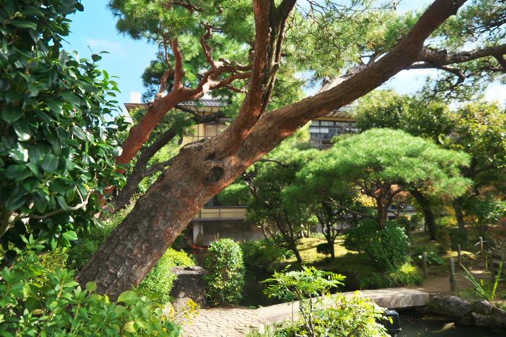 起雲閣 庭の赤松