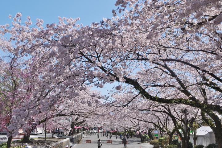 少し前の浅間大社馬場の桜