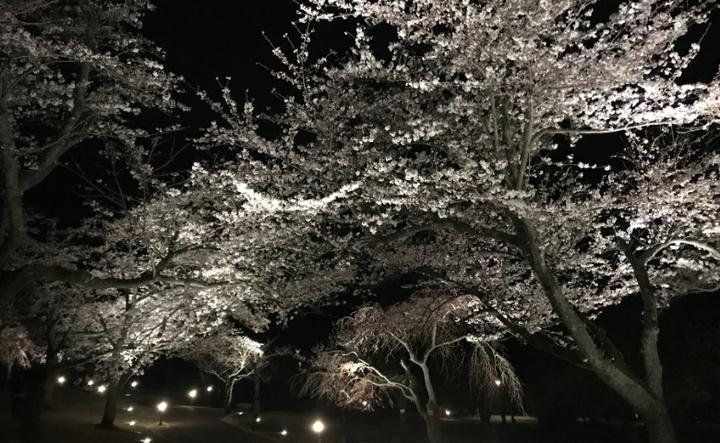 伊東 伊豆高原さくらの里夜桜観賞会