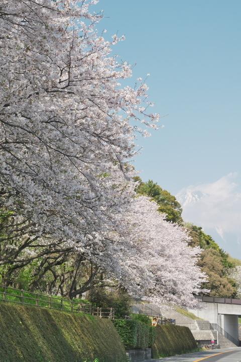 富士 用水路沿い