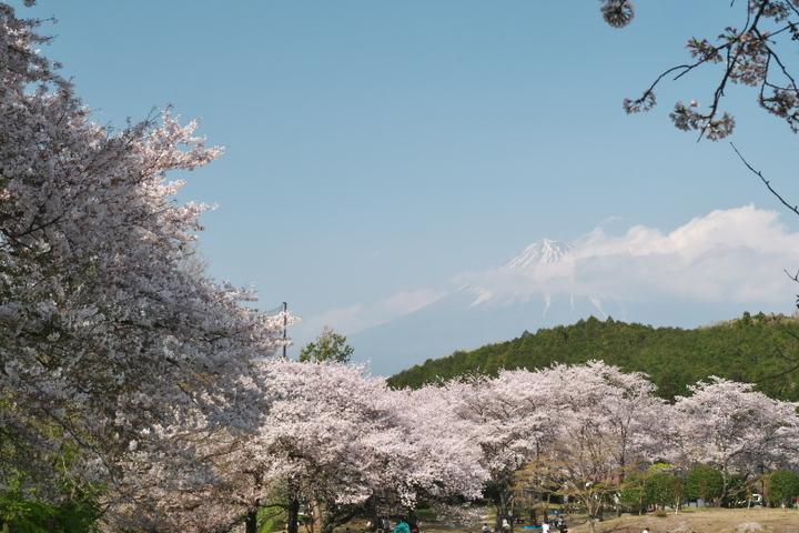 岩本山公園 桜と富士山
