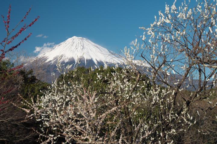 岩本山公園 梅と富士山