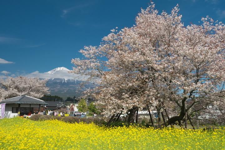 富士山と駒止の桜と菜の花