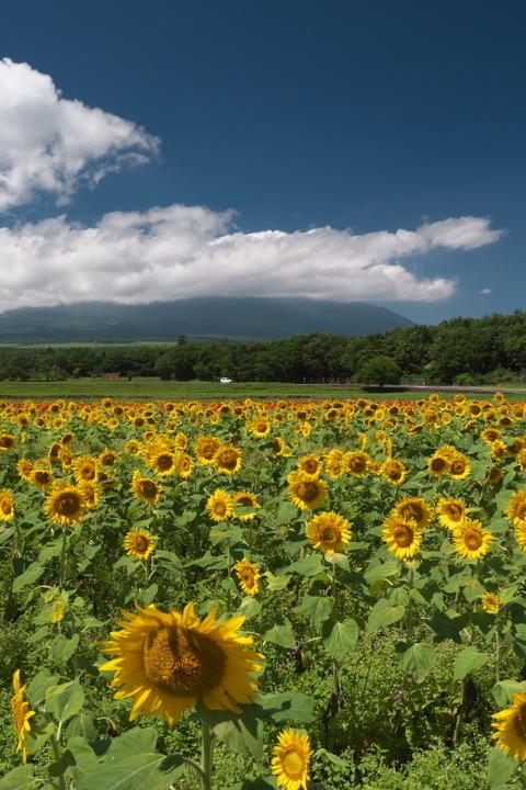 山中湖 花の都公園 富士山とひまわり