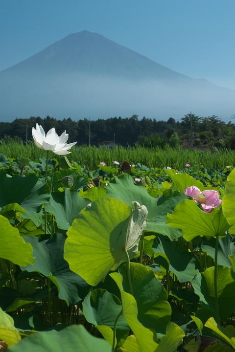 蓮の花と富士山