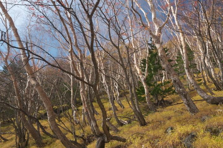 富士山自然休養林 ダケカンバ