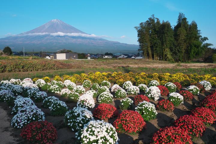 上野 ざる菊