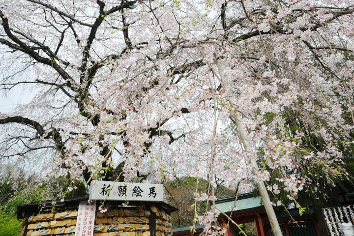 浅間大社境内の信玄桜
