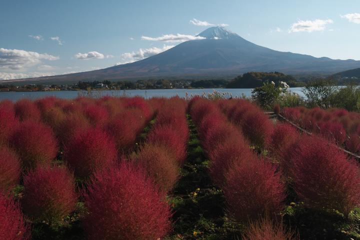 河口湖 大石公園 コキアと富士山