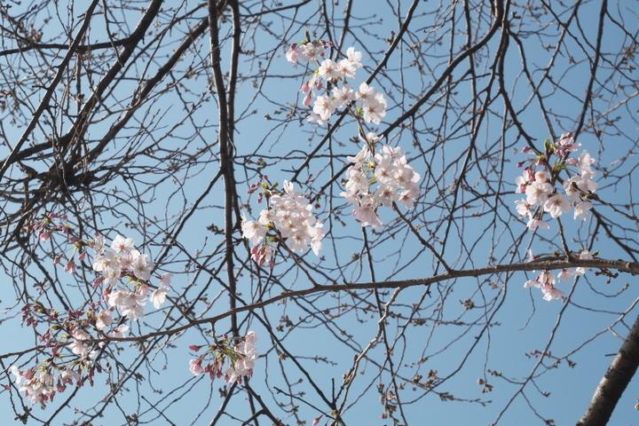 龍岩淵 一部開花