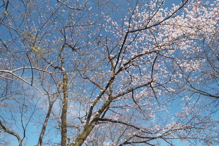 岩本山公園 開花した桜