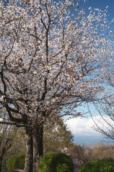 岩本山公園 山頂の桜