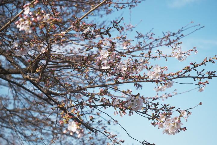 岩本山公園 広場の桜