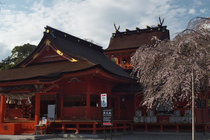 浅間大社 信玄桜