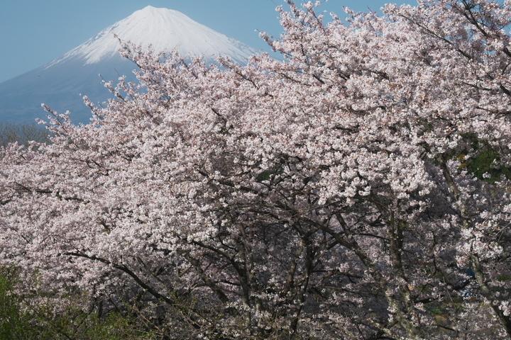 岩本山公園2021年満開