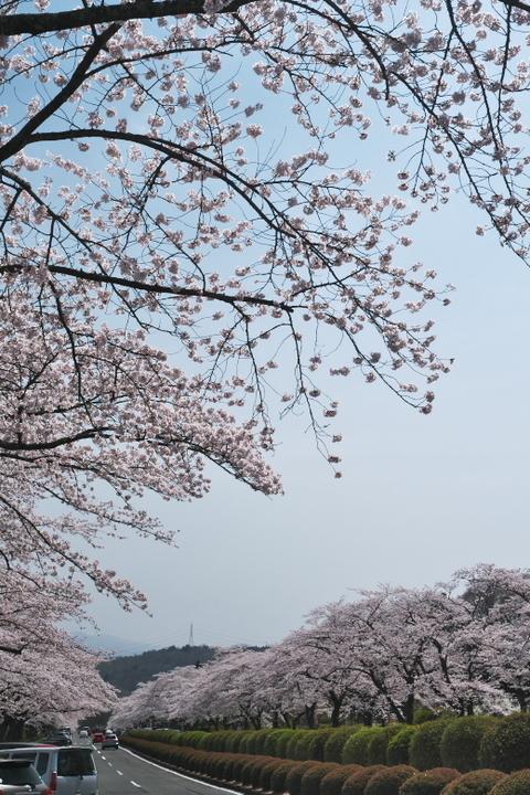 富士霊園2021年満開