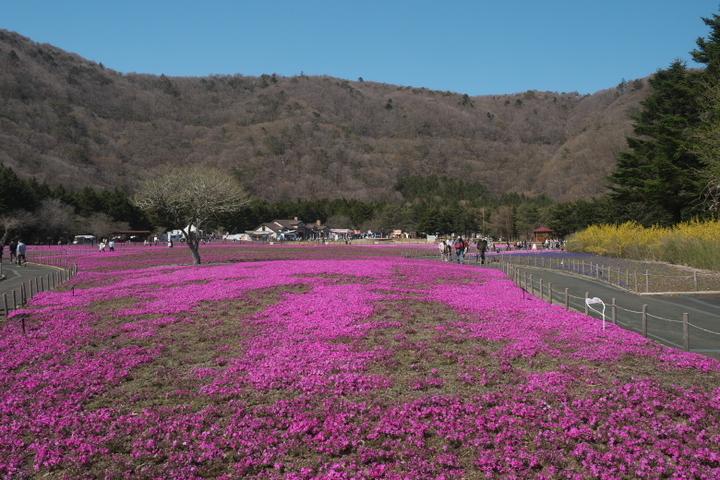 富士芝桜まつりゲートすぐ