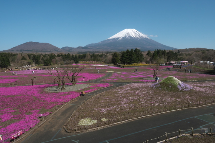 展望台からの芝桜と富士山