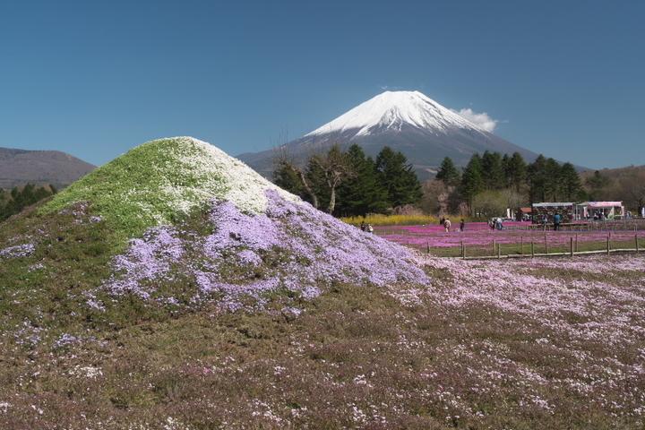 芝桜の富士山と本物の富士山