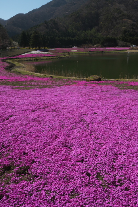 竜神池と芝桜