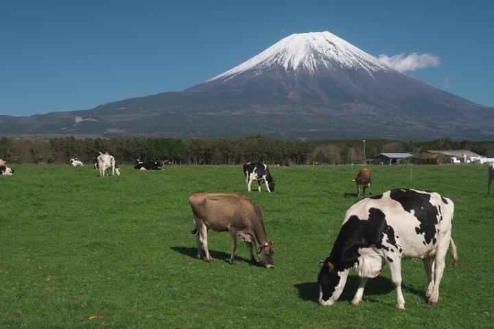 朝霧高原 牛と富士山