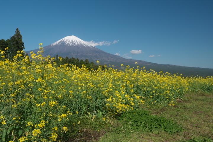 白糸公園 菜の花と富士山