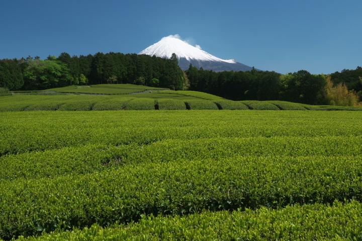 富士宮 杉田の茶畑