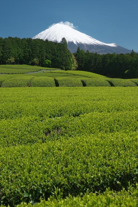 富士宮 杉田の茶畑2
