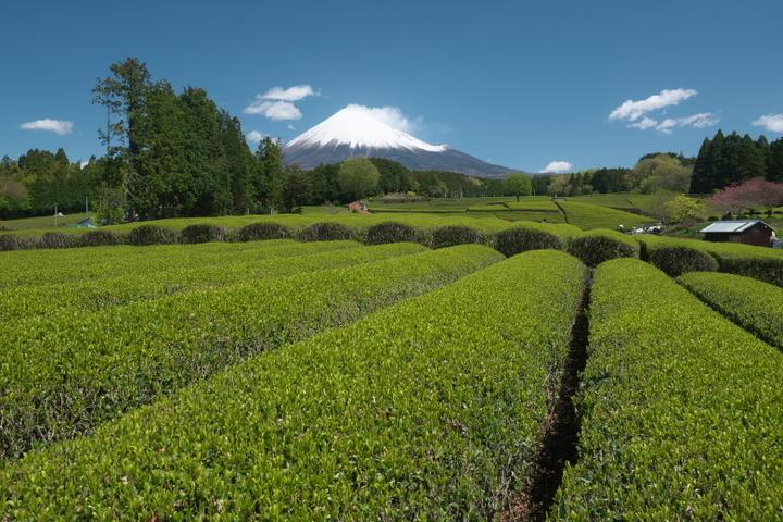 大淵笹場 富士山と茶畑