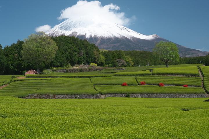 笹場 富士山と茶畑