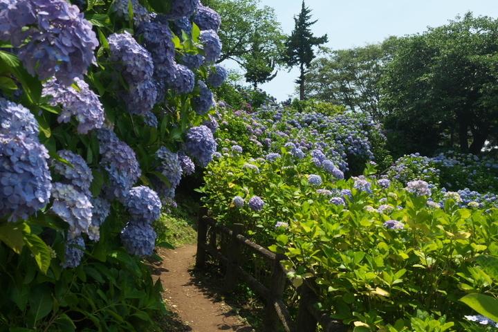 下田公園 紫陽花