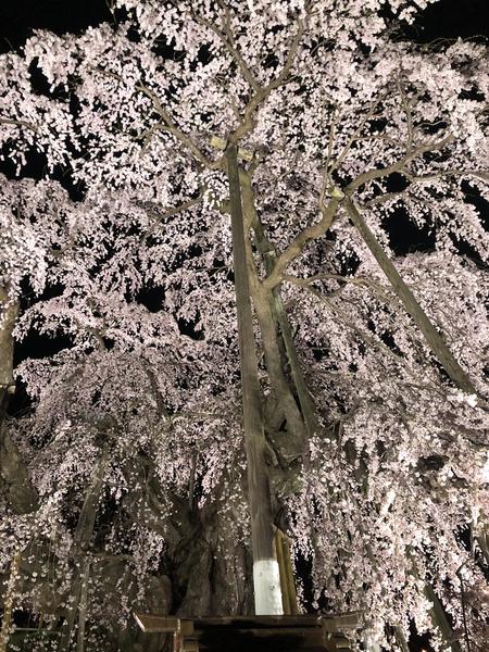 [2019_三春滝桜]