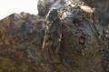 [昆虫]アブラゼミ