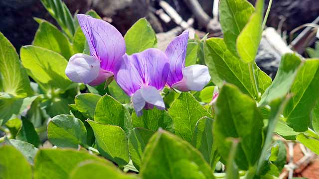 マメ科の植物の花