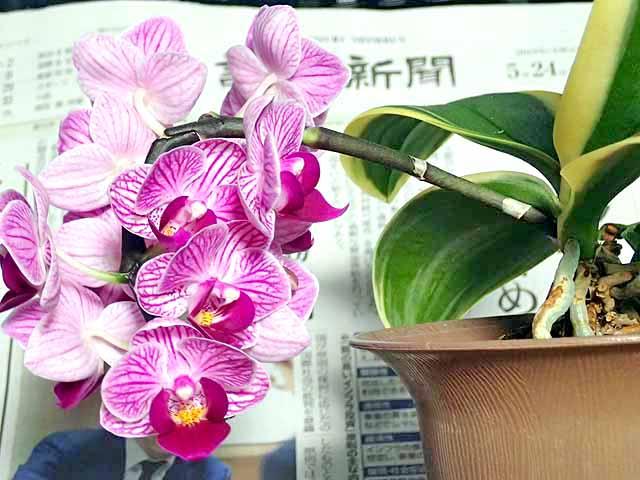 ミニ胡蝶蘭の花の画像