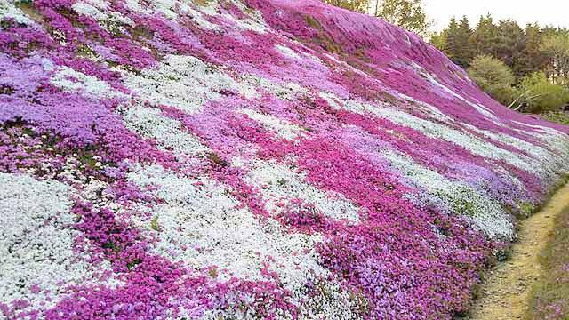 芝桜の植栽