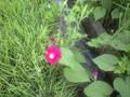 アサガオの花の香りが‥