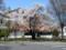 毎年見に行く近代美術館前の桜