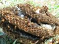 駆除後取り出した三層のはちの巣