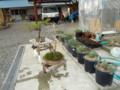盆栽は‥赤松と中国の柿だ